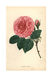 Pauline Labonte Rose, Pink Variety of the Tea Rose Giclee Print by Francois Grobon