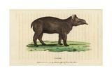 Tapir, Tapirus Terrestris Vulnerable Giclee Print by Thomas Pennant