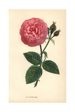 Louise Odier Rose, Hybrid of the Ile Bourbon Rose Giclee Print by Francois Grobon