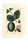 Jesuit's Bean or St Ignatia's Bean, Strychnos Ignatia Reproduction procédé giclée par Pierre Turpin