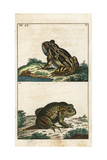 Common Toad, Bufo Bufo Giclee Print