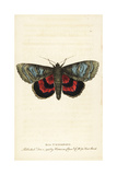 Red Underwing, Catocala Nupta Giclee Print by Moses Harris