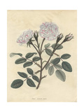 Variegated Moss Rose, Rosa Muscosa Variegata Giclee Print by Henry Andrews