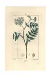 Cutleaf Water Parsnip, Berula Erecta Giclee Print by Pierre Turpin