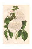 Hybrid White Rose, Imperatrice Eugenie, Empress Eugenie Giclee Print by L. Stroobant
