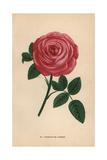 Marquise De Ligneris Rose, Hybrid Giclee Print by Francois Grobon