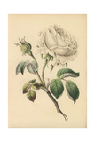 Double White Rose, Rosa Alba Giclee Print by James Andrews