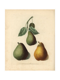 Pear Varieties, Pyrus Communis Giclee Print by George Brookshaw