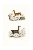 Vicuna and Llama Giclee Print by Edouard Travies