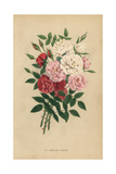 Indian Button Roses, Rosa Chinensis Hybrids Giclee Print by Francois Grobon