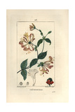 Honeysuckle, Lonicera Periclymenum Giclee Print by Ernestine Panckoucke