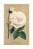 Souvenir De La Malmaison, Variety of the Ile-Bourbon Rose Giclee Print by Francois Grobon