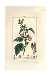 Marsh Mallow, Althaea Officinalis Giclee Print by Pierre Turpin