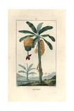 Pierre Turpin - Banana Tree, Musa Paradisiaca Digitálně vytištěná reprodukce
