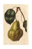 Summer Bonchretien Pear, Pyrus Communis Giclee Print by Augusta Withers