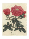 Scarlet French Rose, Rosa Gallica Officinalis Giclee Print by Henry Andrews