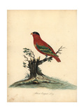 Purple-Naped Lory, Lorius Domicella Endangered Giclee Print by William Hayes