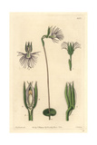 Pectinated Bartholina, Bartholina Burmanniana Giclee Print by Sarah Drake