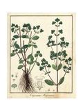 Marjoram, Origanum Majorana Giclee Print by F. Guimpel