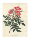 Pink Swamp Rose, Rosa Pensylvanica (Rosa Palustris) Giclee Print by Henry Andrews