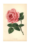 Celina Noirey Rose, Variety of the Tea Rose Giclee Print by Francois Grobon