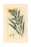 Honeybell, Freylinia Lanceolata, Native to South Africa Giclee Print by Pancrace Bessa
