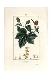 Hops, Humulus Lupulus Giclee Print by Pierre Turpin