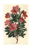Brick Red Chinese Azalea, Rhododendron Indicum Giclee Print by Sarah Drake