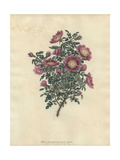 Rosa Spinosissima, Var Flore Marmorea Giclee Print by Henry Andrews