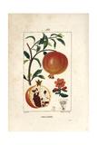 Pomegranate Tree, Punica Granatum Giclée-Druck von Pierre Turpin