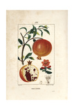 Pomegranate Tree, Punica Granatum Giclee Print by Pierre Turpin