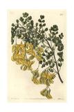 Nepal Bladder-Senna, Colutea Nepalensis Giclee Print by Sarah Drake
