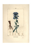 Leadwort, Plumbago Europaea Giclee Print by Pierre Turpin