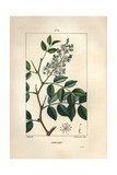 Balsam of Copaiba Tree, Copaifera Officinalis Giclee Print by Pierre Turpin