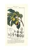 Nutmeg and Mace, Myristica Aromatica Giclée-Druck von Pierre Turpin