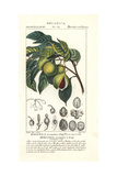 Nutmeg and Mace, Myristica Aromatica Giclee Print by Pierre Turpin