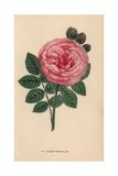 Madame Edouard Ory Rose, Hybrid Moss Rose, Rosa Muscosa Giclee Print by Francois Grobon