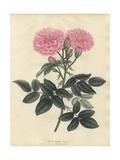 Belgian Rose, Rosa Belgica Blanda Giclee Print by Henry Andrews