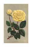 Jean Pernet Rose, Yellow Variety of the Tea Rose Giclee Print by Francois Grobon