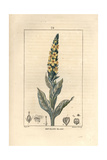 Mullein, Verbascum Thapsus Giclee Print by Pierre Turpin