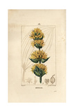 Gentian, Gentiana Lutea Giclee Print by Pierre Turpin