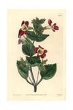Variegated Monkey-Flower, Mimulus Luteus Var Variegatus Giclee Print by Sarah Drake