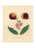 Nectarine Varieties, Prunus Persica Impression giclée par George Brookshaw