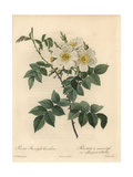Short-Styled Rose, Rosa Stylosa Variety Giclee Print by Pierre-Joseph Redouté