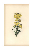 Wild Wallflower, Cheiranthus Fruticulosus Giclee Print by William Clark