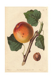 Roman Apricot, Prunus Armeniaca, Old and Worst Variety Giclee Print by Augusta Withers