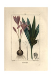 Meadow Saffron, Colchicum Autumnale Giclee Print by Pierre Turpin
