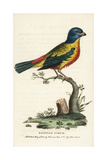 Painted Bunting, Passerina Ciris, Male Giclee Print by George Edwards