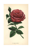 Baron De Gonella Rose, Variety of the Ile-Bourbon Rose Giclee Print by Francois Grobon