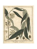 Resin-Bearing Red Mahogany, Eucalyptus Resinifera Giclee Print by F. Guimpel
